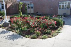 Our center bed is full of native perennials...hostas, meadow sage, blue salvia, liriope, coneflower, daffodils, hardy geranium, daylilies, iris, yarrow.  We'll also plant a few drought tolerant seed annuals here -- cleome, alyssum and geranium.