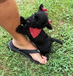 Hold me please. - Scottie puppy - with bows! How is this not the cutest thing ever Scottish Terrier Puppy, Terrier Dogs, I Love Dogs, Cute Dogs, Baby Animals, Cute Animals, Puppy Care, Dogs And Puppies, Doggies