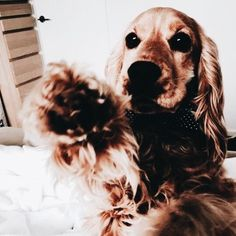 This Cocker will mine Animals And Pets, Baby Animals, Funny Animals, Cute Animals, Animals Beautiful, Cute Puppies, Cute Dogs, Dogs And Puppies, Doggies
