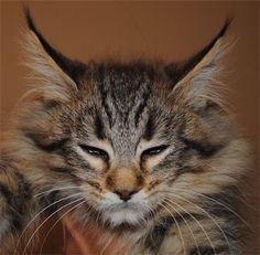 Lynx Hybrid Cats For Sale Caracat Caracats Cat