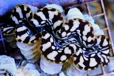 We've been covering new and sensational giant clams for years but a recent crop of farm raised clams from Samoa has definitely gotten our attention. The stunning, jaw-dropping clams appeared at the German Extreme Corals and they have some elements of blue Tridacna squamosa, Tridacna 'maxea', and one of them takes the black and white