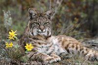 MIS MEJORES FOTOS : Animales en peligro de extinción, El lince ibérico...