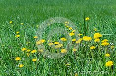 Bright yellow dandelions grow in the meadow covered with young green grass