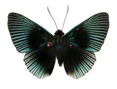 Metalmark Butterfly    Lyropteryx apollonia