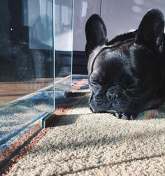 Sleeping French Bulldog