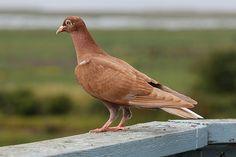 Bronze Rock Pigeon On Rail at Reifel Bird Sanctuary BC 06Aug2009 by frosty_white_raven, via Flickr