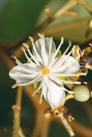 Las flores blancas suelen liberar fragancias que atraen a los polinizadores.