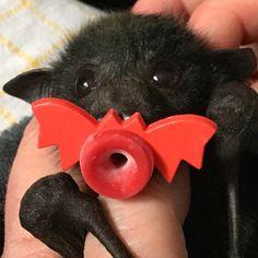 Baby bat with a bat binky