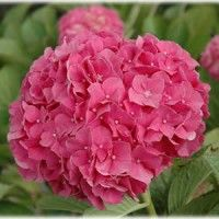 Buy Glowing Embers Hydrangea for sale online Nature Hills Nursery