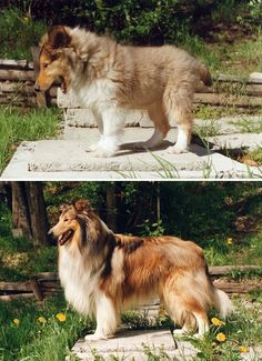Growing Up: Before and after pics taken 4 years apart / We had one when I was little. They are beautiful dogs.