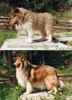 animais depois de crescidos 15 Um imponente collie em fotos com 4 anos de diferença