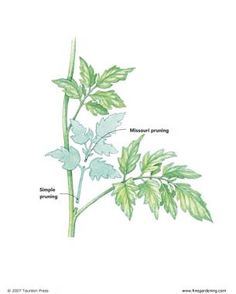 Pruning Tomatoes - FineGardening