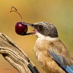 El rabi y la cereza