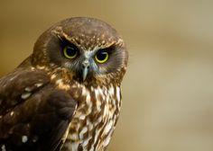 Frodo the Morepork Beautiful Birds, Animals Beautiful, Owl Quilts, Owl Bags, Bird Drawings, Drawing Birds, Felt Owls, Art Deco Posters, Owl Patterns