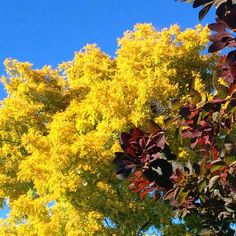robinia cotinus autumn colour tree - The Middle-Sized Garden Landscaping Retaining Walls, Privacy Landscaping, Back Gardens, Small Gardens, Garden Privacy, Privacy Screens, Backyard Ideas For Small Yards, Cottage Garden Design, Leaf Coloring