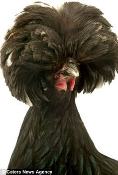 Yes, this is a chicken.