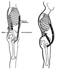 someone who appears to be skinny with little body fat, yet there is a pot belly sticking out above the waist.  To me this is an indication of a tight psoas major people think that building your core is the antidote to back pain.  And while it is true— if your psoas is tight and you do a lot of sit ups, shortening the distance between the pelvis and the ribcage, you are limiting the amount of room for organs. The psoas pushes the organs forward and the tight rectus abdominis pushes them…
