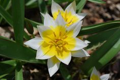 Tulip 'Tarda' - Flickr - Photo Sharing!