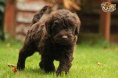 F1 Miniature Labradoodle Puppies | Taunton, Somerset | Pets4Homes
