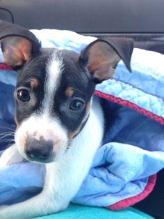rat terrier puppies craigslist | Cute Baby Animals | Rat ...