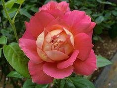Hybrid Tea Rose: Rosa 'Mary Margaret McBride' (U.S., 1942)