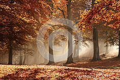 Photo about Nice golden sun rays through the fog and branches of trees in autumn, with brown leafs and misty atmosphere. Image of trunks, tales, rays - 34555576 Tree Branches, Trees, Golden Sun, Autumn Forest, Sun Rays, Lights Background, Tapestry, Leaves, Stock Photos