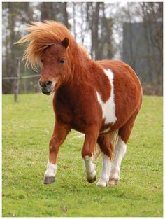 Galloping Leo the miniature horse by ~KonikPolski on deviantART