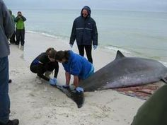 Marine mammal specialists from Gulf World Marine Park in Panama City tend to a beached beaked whale on Cape San Blas Thursday morning. The w...