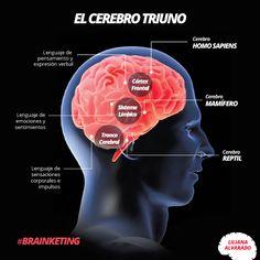 Descubre más sobre el cerebro triuno ¿Cuál de los tres te define mejor?