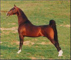 American Saddlebred | American Saddlebred ou Selle américain - Les races