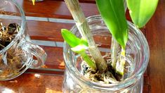 My new dendrobiums in full water culture and in bark. Orchids In Water, Dendrobium Orchids, Culture, Green, Tips, Youtube, Plants, Flowers, Orchids