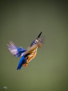 ...Common Kingfisher (Alcedo atthis)... | par Movin Photography