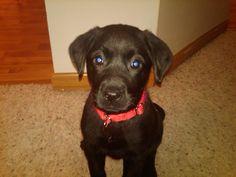 Black lab puppy #rileybeforeshegotbig