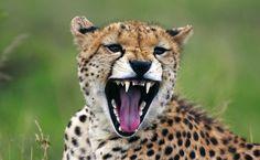 Grrrr... Zähne zeigen für die Kamera! Cheetahs, Safari, Lion, Victoria, Animals, Round Trip, Camera, Culture, Viajes
