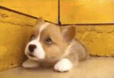 The happy little corg, smiling his way into your heart. | 51 Corgi GIFs That Will Change Your Life