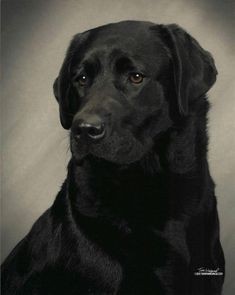 Mind Blowing Facts About Labrador Retrievers And Ideas. Amazing Facts About Labrador Retrievers And Ideas. Labrador Retrievers, Black Labrador Retriever, Retriever Puppy, Labrador Dogs, Golden Retrievers, Schwarzer Labrador Retriever, Black Labs Dogs, Labrador Chocolate, Most Popular Dog Breeds