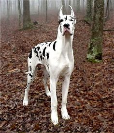 great dane...