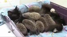 Mama kitty and baby hedgehogs – Katja Kopp - Baby Animals Funny Animal Videos, Cute Funny Animals, Funny Animal Pictures, Cute Baby Animals, Animals And Pets, Cute Cats, Funny Cats, Funny Humor, I Love Cats