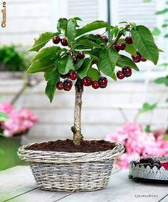 arvore de cereja no vaso na horta