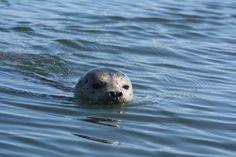 Liberty Bay harbor seal.  Poulsbo, WA.