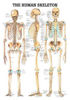 Drawing Human Figure The Human Skeleton Laminated Anatomy Chart - Human Skeleton Anatomy, Female Skeleton, Human Anatomy Drawing, Human Body Anatomy, Human Anatomy And Physiology, Skeleton Model, Skeleton Makeup, Skeleton Labeled, Dragon Skeleton