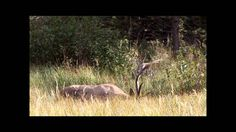 """Elk In the Colorado Rut - September - October Autumn Elk Rut Season in Estes Park Colorado.  Watch these incredible Bull Elk move around and give the mating bugle the call of the wild . James """"Bo"""" Insogna Photography. Please visit our online gallery at http://www.BoInsogna.com"""