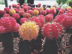#Cactus #plant #nature #colorful