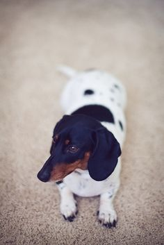 i love pie. dachshund..almost looks like he got the wrong head on his white spotted body.