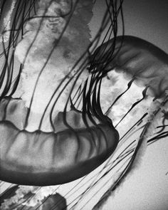 Black and white photography  Jelly Fish Dance  8 by PenumbraImages, $25.00