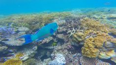 Parrot fish are the cleaners of the Great Barrier Reef. They bite of chunks off coral and grind it up in their teeth. When there are schools of them around you, the grinding can be quite loud. This single Parrot fish was filmed at Moore reef near Cairns