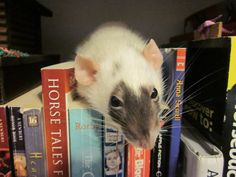 this is my pet rat, Snickers <3