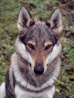 Chechoslovakian Wolfdog