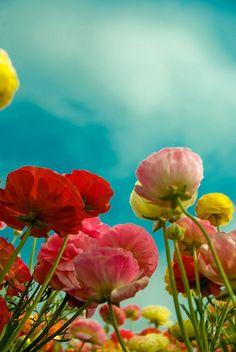 Carlsbad Flower Field  by akaporn, via Flickr