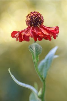 Helenium Or Helen S Flower Is A Great Choice For The Autumn Garden This Member Of The Daisy Family Blooms From August Until October All About A Pinteres